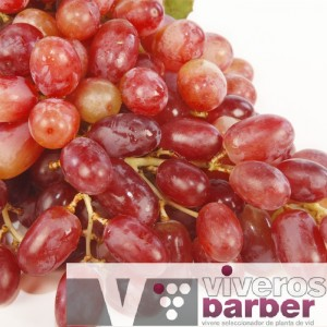 Crimson Seedless – Uva de Mesa