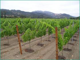Riego en la Viña: Influencia del Estrés Hídrico