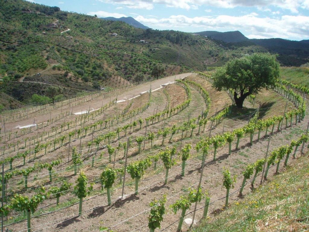 ¿Cómo plantar un pequeño Viñedo? Plantación viña Paso a paso.