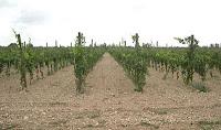Plantación de la vid: Influencia de los Marcos de Plantación