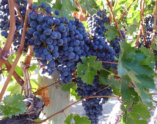 Cultivo ecologico vid: Fundamentos de Viticultura Ecológica