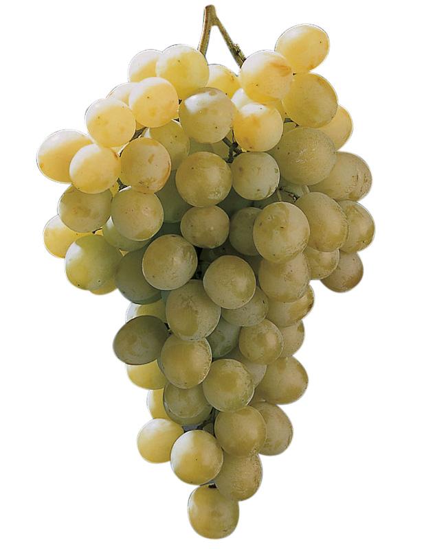 Uvas de Mesa: Italia, Ideal, Moscatel Italiano, Moscatel Italia.