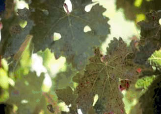 Abonado del viñedo: FÓSFORO en el Viñedo (P).