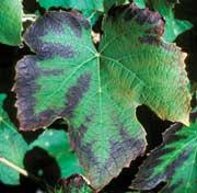 Abonado de la vid: El Potasio (K) en la fertilización de la viña.
