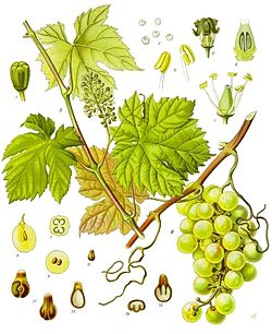 Vitis vinifera sativa y Vitis vinifera sylvestris