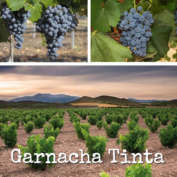 Garnacha Tinta. La segunda variedad más plantada en España
