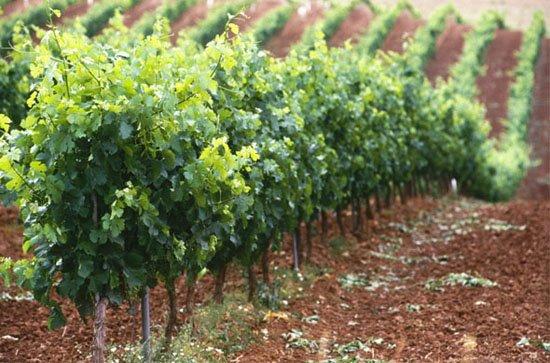 Viticultura integrada, un modelo de agricultura sostenible.