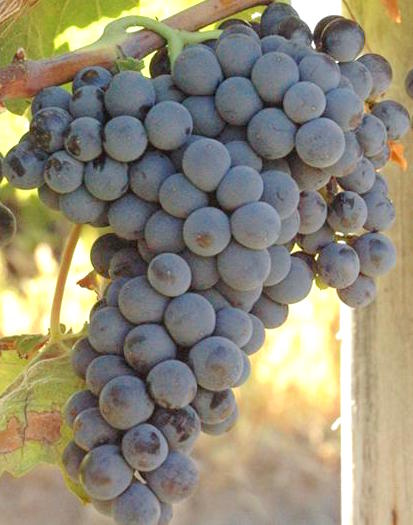 Caladoc-Uvas de vino tinto