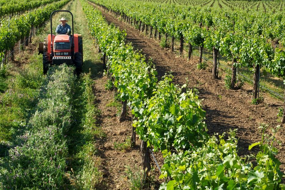 El Viñedo Ecológico: Uso de enemigos naturales en Viticultura