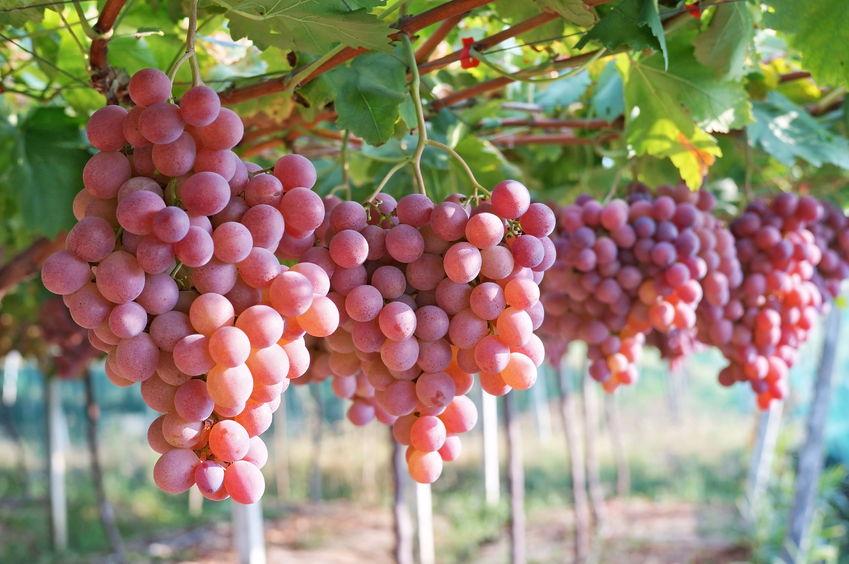 Nitrógeno en Viña. Efecto en las plantas. Dosis y propiedades.