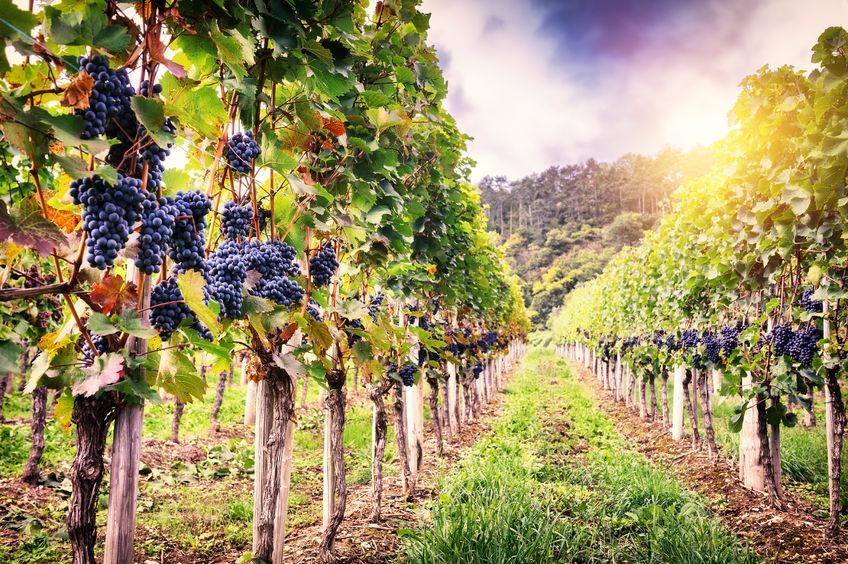 Fertilización Manganeso Viña: Efectos, Síntomas de carencias y excesos.