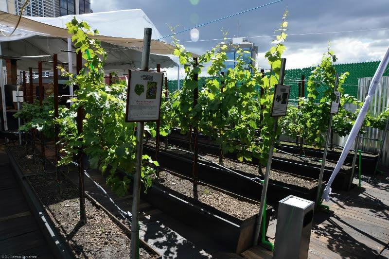 Viñedo Urbano. ¿Se puede plantar un viñedo en una terraza?